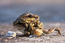 Ropucha szara / Common toad