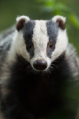 Borsuk / European badger / Ref : 231