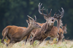 Jeleń szlachetny / Red deer / Ref : 291