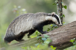 Borsuk / European badger / Ref : 299