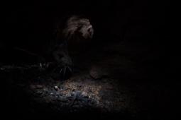 Myszarka zaroślowa / Wood mouse / Ref : 41