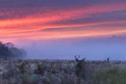 Jeleń szlachetny / Red deer / Ref : 282