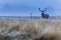 Jeleń szlachetny / Red deer / Ref : 47