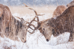 Jeleń szlachetny / Red deer / Ref : 60