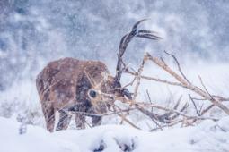 Jeleń szlachetny / Red deer / Ref : 49