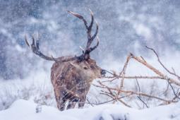Jeleń szlachetny / Red deer / Ref : 296