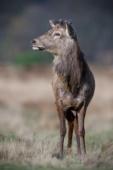 Jeleń szlachetny / Red deer / Ref : 287