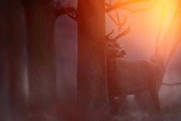 Jeleń szlachetny / Red deer / Ref : 217