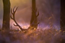 Jeleń szlachetny / Red deer / Ref : 242