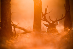 Jeleń szlachetny / Red deer / Ref : 230