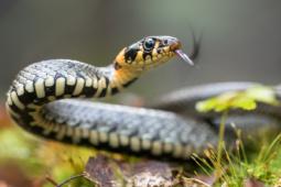 Zaskroniec zwyczajny / Grass snake / Ref : 279