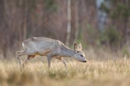 Sarna / Roe deer / Ref : 294