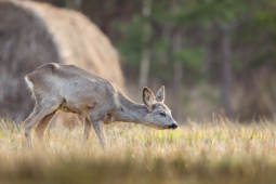 Sarna / Roe deer / Ref : 218