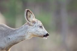Sarna / Roe deer / Ref : 156