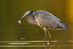 Czapla siwa / Grey heron / Ref : 268