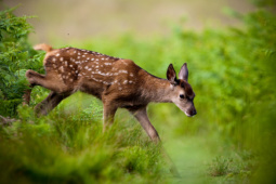 Jeleń szlachetny / Red deer / Ref : 158