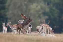 Daniel / Fallow deer / Ref : 137