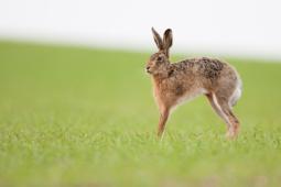 Zając szarak / European hare / Ref : 161