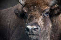 Żubr / European bison / Ref : 260
