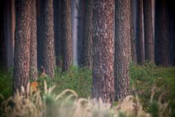 Sarna / Roe deer / Ref : 9