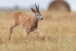 Sarna / Roe deer / Ref : 115