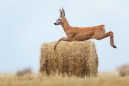 Sarna / Roe deer / Ref : 301