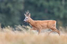 Sarna / Roe deer / Ref : 203