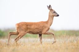 Sarna / Roe deer / Ref : 11