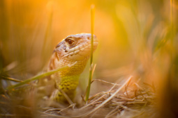 Jaszczurka zwinka / Sand lizard / Ref : 71
