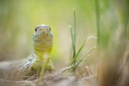 Jaszczurka zwinka / Sand lizard / Ref : 96