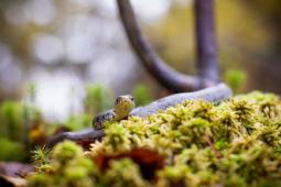 Zaskroniec zwyczajny / Grass snake/ Ref : 6