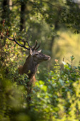 Jeleń szlachetny / Red deer / Ref : 26