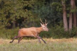 Jeleń szlachetny / Red deer / Ref : 35