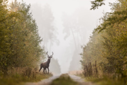 Jeleń szlachetny / Red deer / Ref : 298