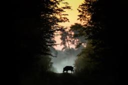 Dzik / Wild boar / Ref : 302