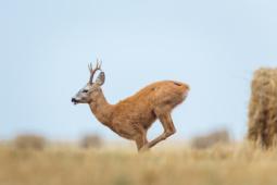 Sarna / Roe deer/ Ref : 7