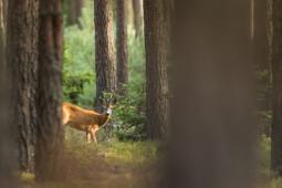 Sarna / Roe deer / Ref : 80
