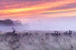 Jeleń szlachetny / Red deer / Ref : 300