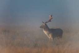 Daniel / Fallow deer/ Ref : 5