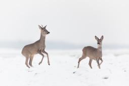 Sarna / Roe deer / Ref : 303