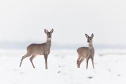 Sarna / Roe deer / Ref : 25