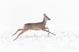 Sarna / Roe deer / Ref :1