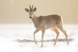 Sarna / Roe deer / Ref : 14