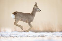 Sarna / Roe deer / Ref : 285