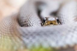 Zaskroniec zwyczajny / Grass snake/ Ref : 310