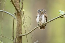 Sóweczka / Eurasian pygmy owl / Ref :