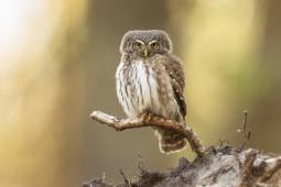 Sóweczka / Eurasian pygmy owl / Ref : 301