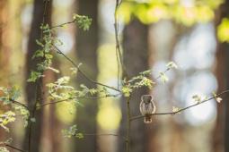 Sóweczka / Eurasian pygmy owl / Ref : 306