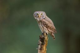 Sóweczka / Eurasian pygmy owl / Ref : 308