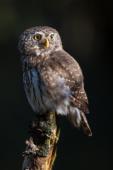 Sóweczka / Eurasian pygmy owl / Ref : 311